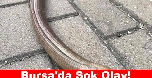 Bursa'da Şok Olay Çok Nadirdi, Nesli Tükenmek Üzereydi,